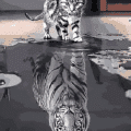 Reflection Cat Tiger  Paint By Number Kit - Just Paint by Number
